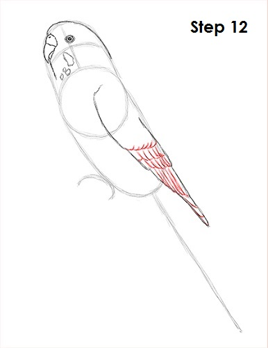 draw-budgie-parakeet-12.jpg