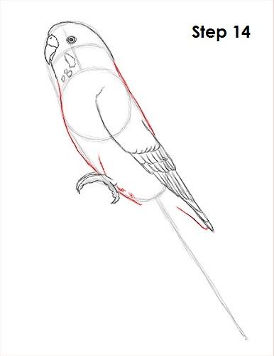 draw-budgie-parakeet-14.jpg