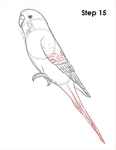 draw-budgie-parakeet-15.jpg
