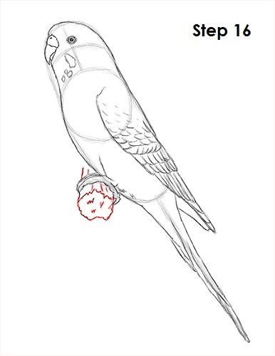 draw-budgie-parakeet-16.jpg