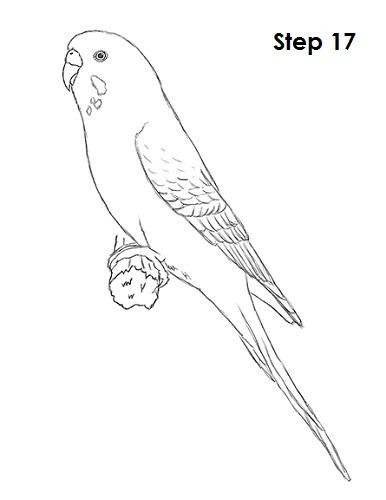 draw-budgie-parakeet-17.jpg