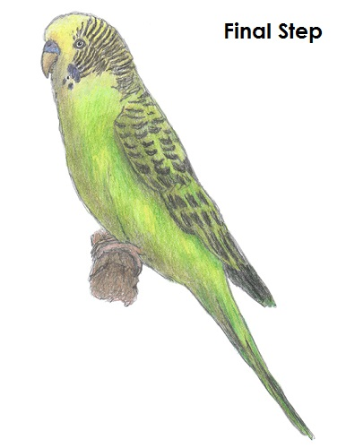 draw-budgie-parakeet-last.jpg