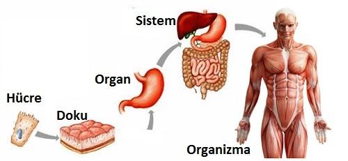 Organlarımız