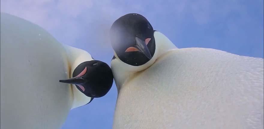 Buzullar içinde penguenler